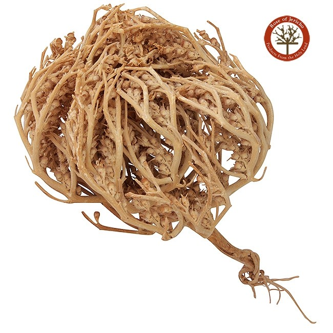 the rose of jericho resurrection plant from the holy land. Black Bedroom Furniture Sets. Home Design Ideas
